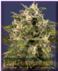 G13 Labs Pineapple Express Auto Female 5 Seeds